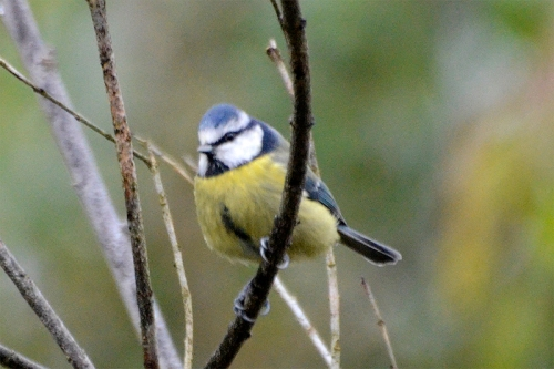 blue tit on bigus tree