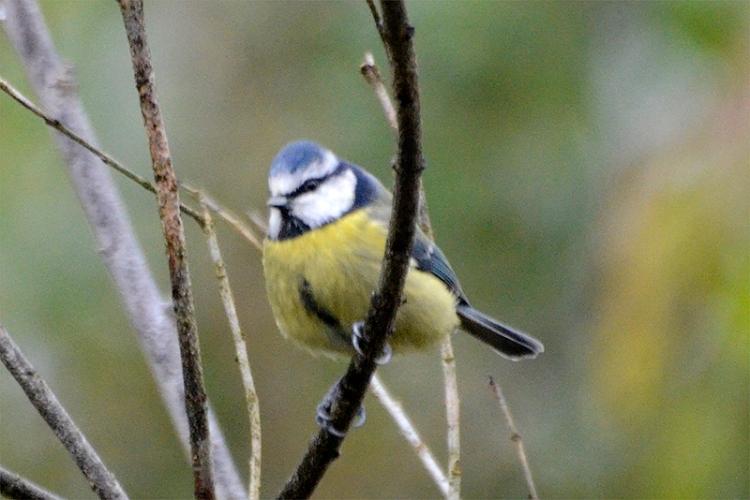 blue tit on bigus tree