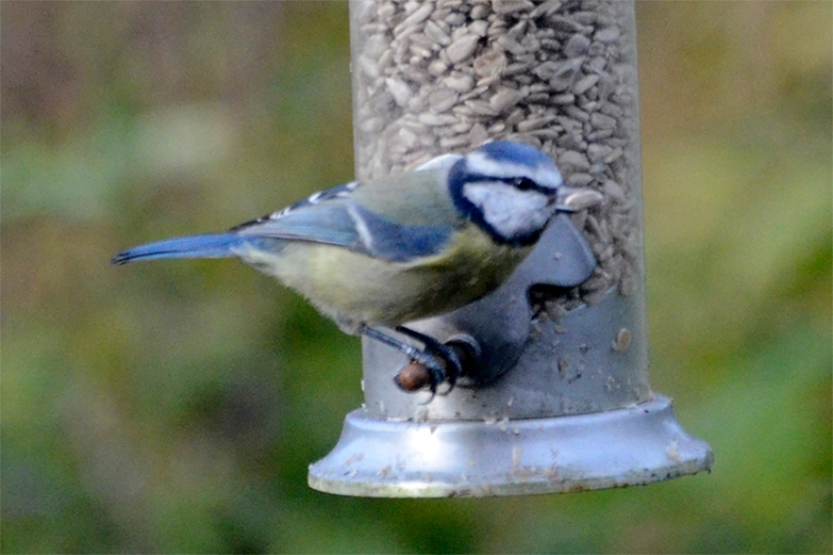 blue tit with big seed