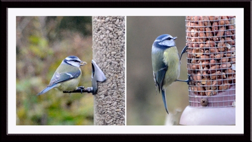 blut tit on seed and nuts