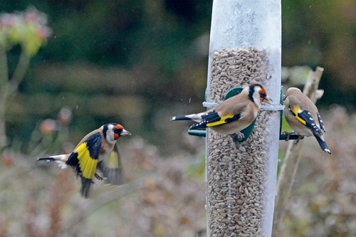 busy feeder goldfinches