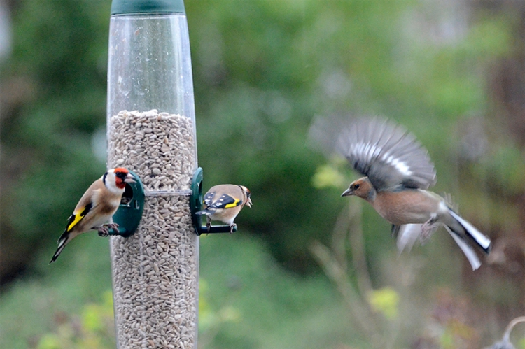 chaffinch and suspicous goldfinches