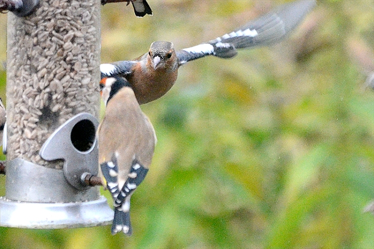 chaffinch approac hing