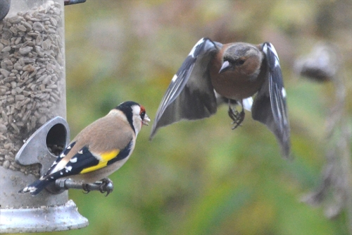 chaffinch challenging