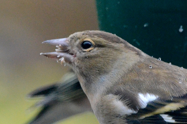 chaffinch eating seed