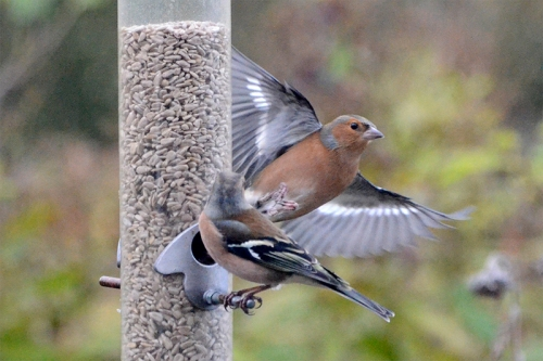 chaffinch fly by