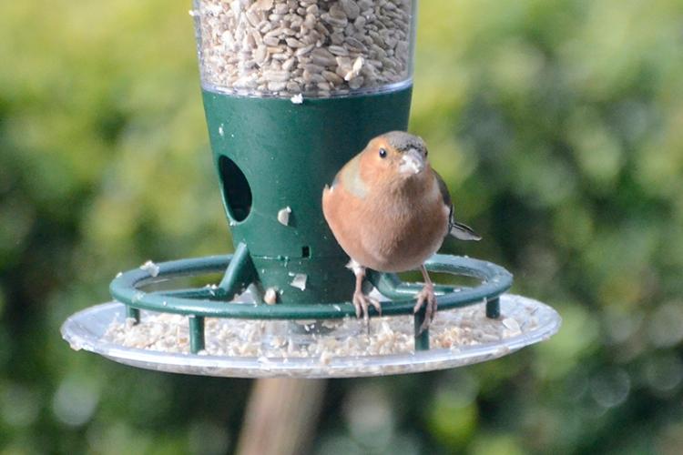 chaffinch on new feeder