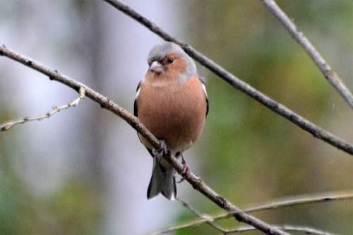chaffinch on plum tree