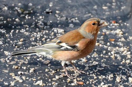 chaffinch under feeder