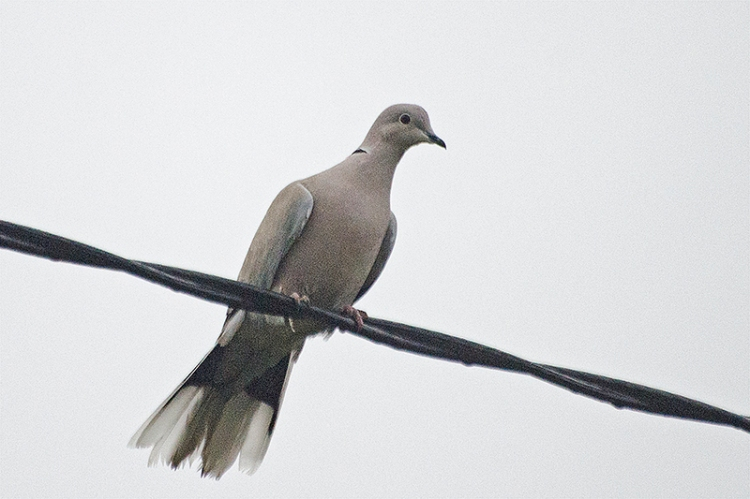collared dove on wire