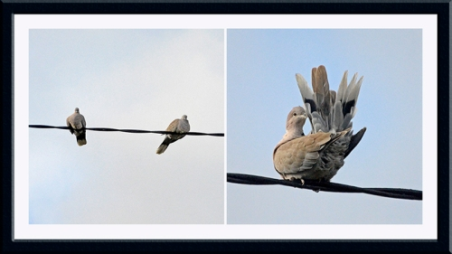 collared doves on wire