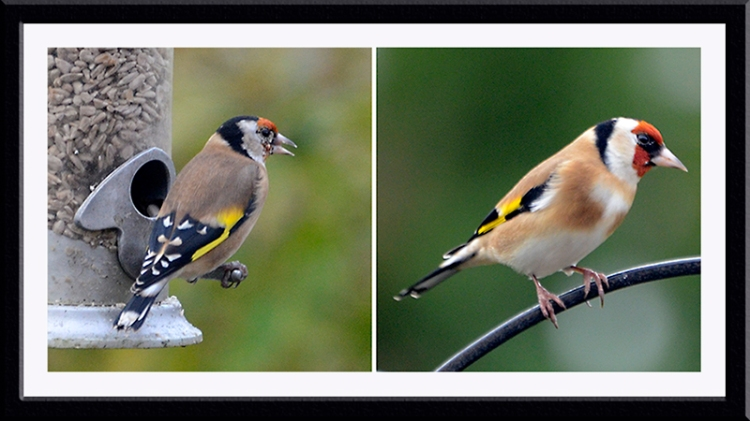 contrasting goldfinches