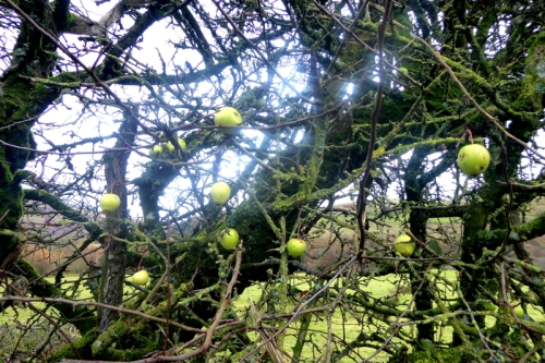 crab apples becks