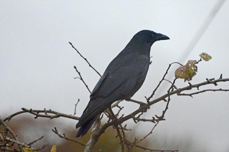 crow on plum tree