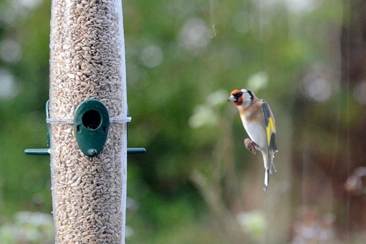 descending goldfinch