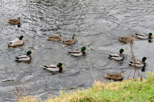 ducks hoping for bread