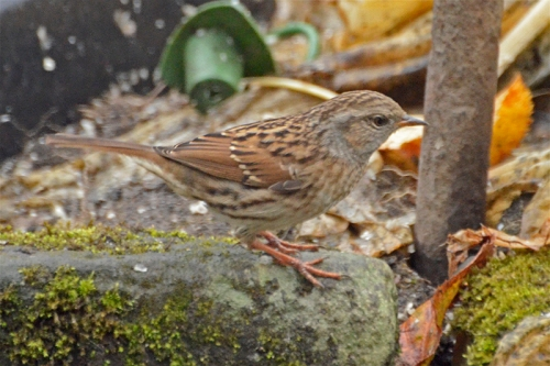 dunnock by feeder pole