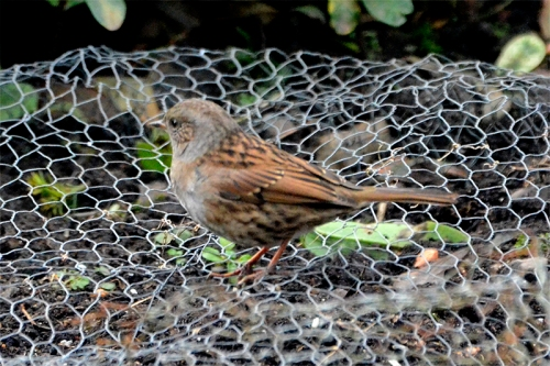 dunnock on wire netting