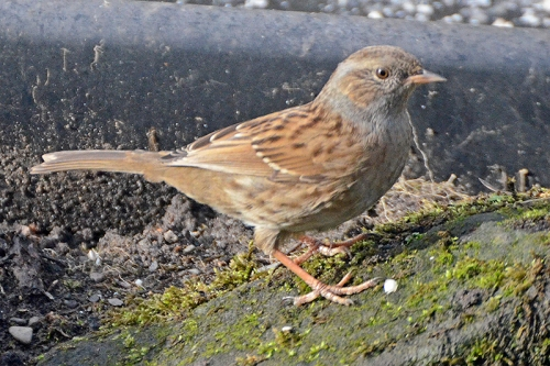 dunnock under feeder