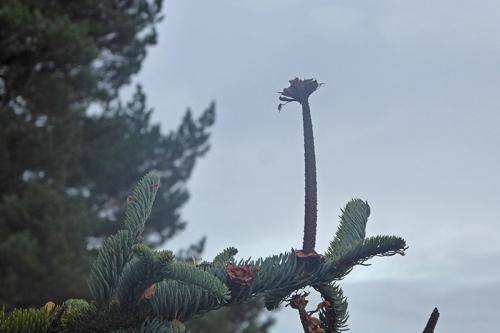 eaten noble fir cone