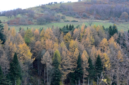 fading larches