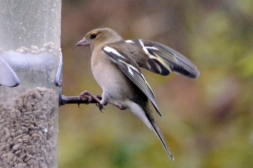 female chaffinch landing