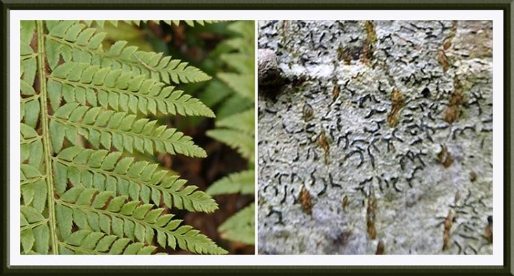 fern and script lichen