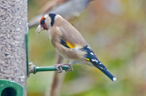 first goldfinch of autumn