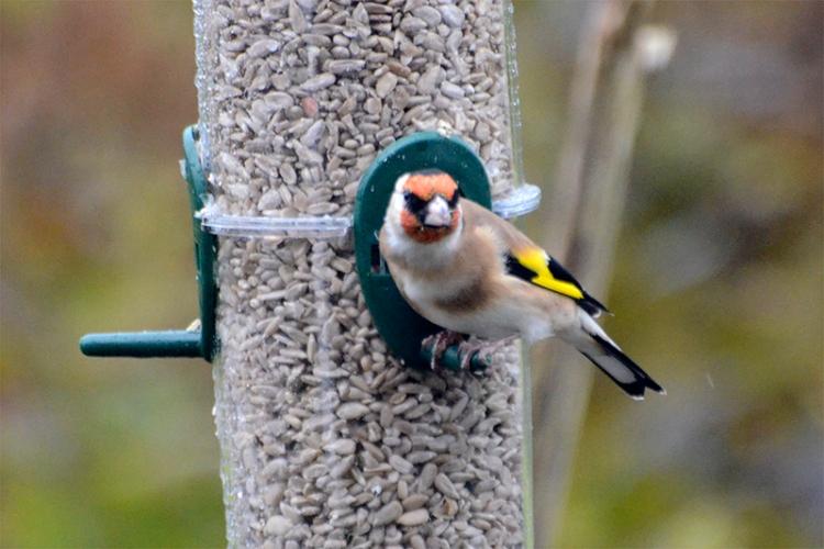 first goldfinch on new feeder