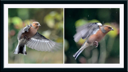 flying chaffinch panel