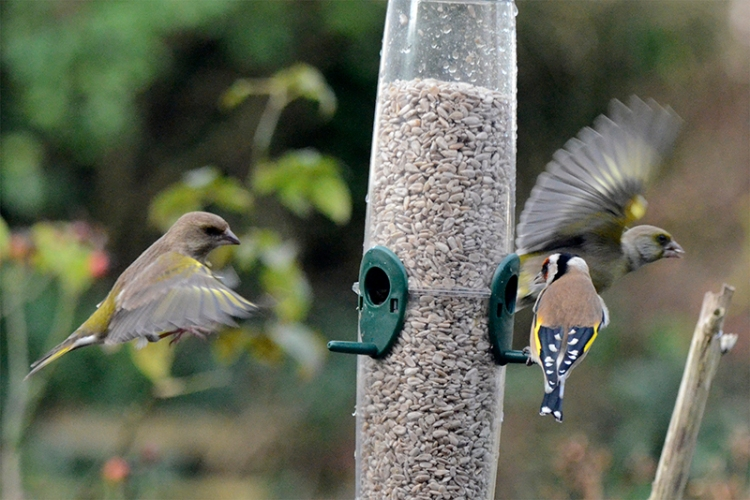 flying greenfinches
