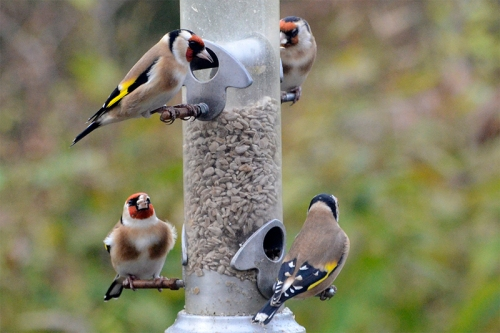 four goldfinches on feeder