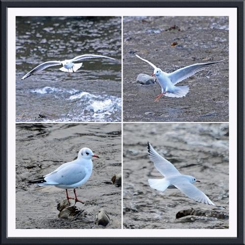 four gulls on Ewes