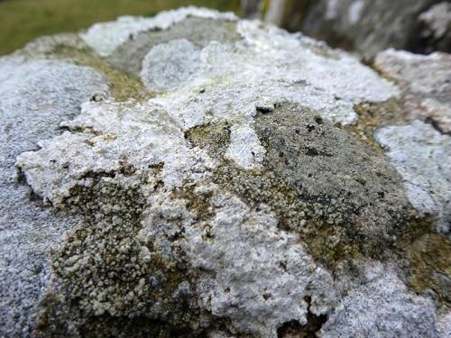 Gilnockie Tower lichen