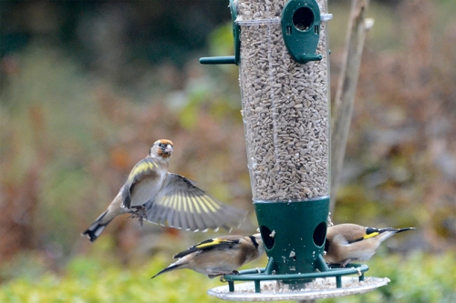 goldfinch deciding at new feeder