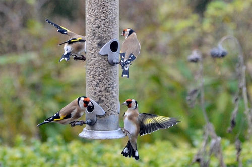 goldfinch hanging on