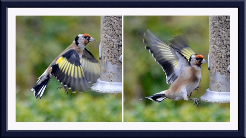 goldfinch missing perch