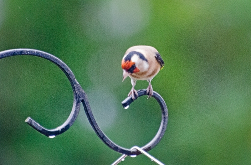 goldfinch on pole