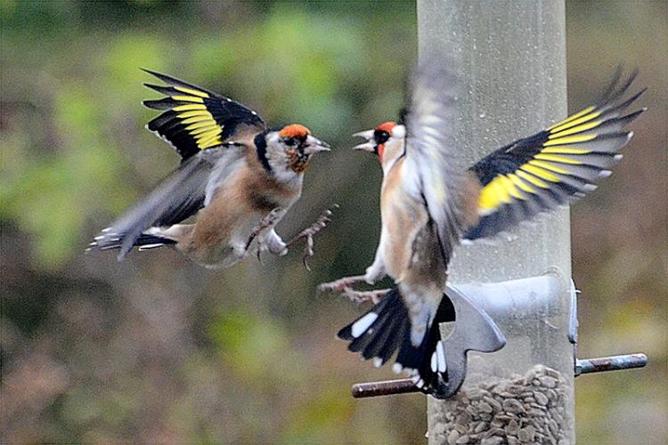 goldfinch shock