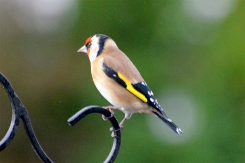 goldfinch waiting