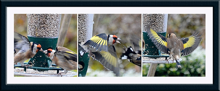 goldfinches action