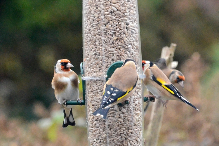 goldfinches chatting