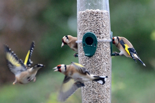 goldfinches leaving