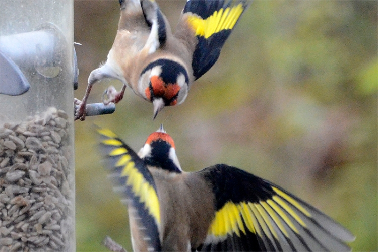 goldfinches spat