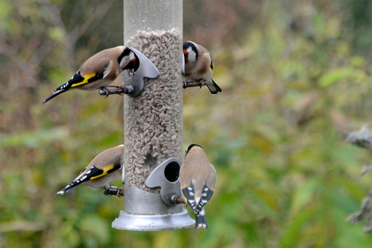 goldfinches tucking in