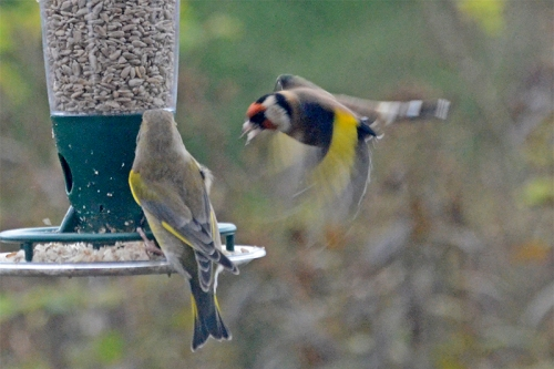 greenfinch annoying a goldfinch 1