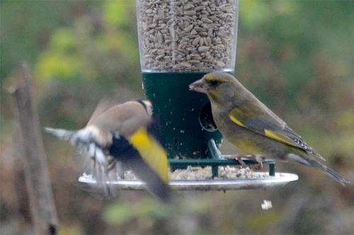 greenfinch annoying a goldfinch 2