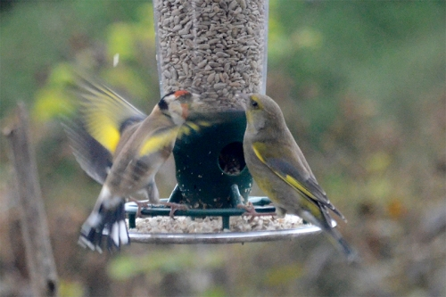 greenfinch annoying a goldfinch 3