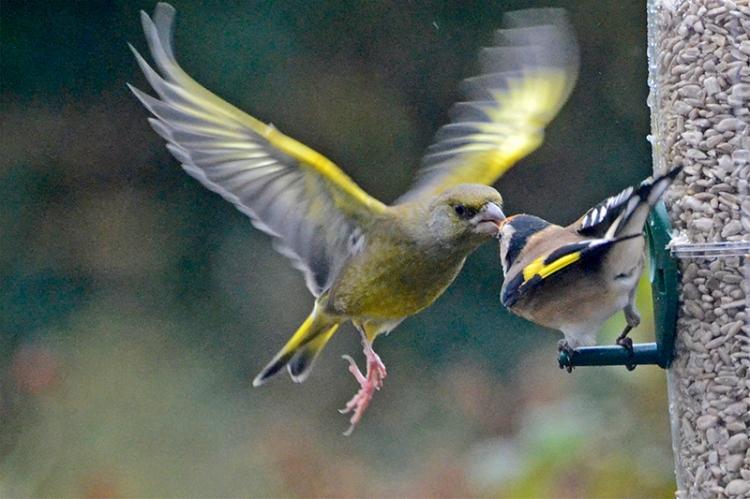 greenfinch flying