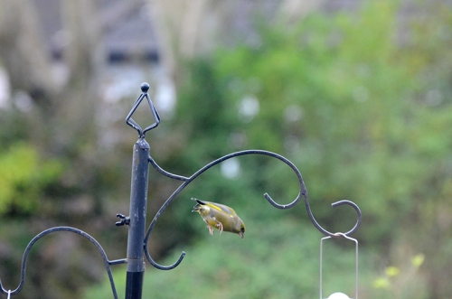 greenfinch flying